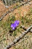 开花的紫罗兰 免版税库存照片
