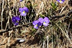 开花的紫罗兰 免版税库存图片
