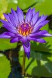 开花的紫罗兰waterlily或莲花在池塘 库存照片