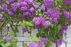 开花的紫色丁香 免版税图库摄影
