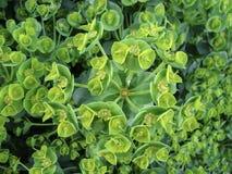 开花的绿色叶茂盛spurge在春天在后院 免版税库存照片