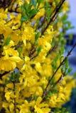 开花的黄色开花在春天 免版税图库摄影