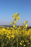 开花的黄色强奸植物,蓝天 免版税图库摄影