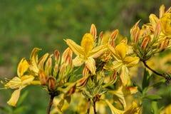 开花的黄色杜鹃花 免版税图库摄影