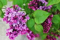 开花的紫色淡紫色绿色叶子 库存照片