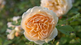 开花的黄色玫瑰在庭院里在一个晴天 免版税库存图片