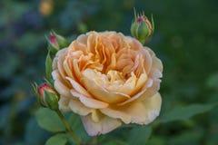 开花的黄色玫瑰在庭院里在一个晴天 库存照片