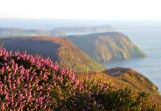 开花的紫色石南花、峭壁和海 曼岛 免版税库存照片