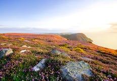 开花的紫色石南花、峭壁和海 曼岛 库存图片