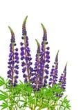 开花的紫色羽扇豆/隔绝/ 自然秀丽在细节的 库存图片