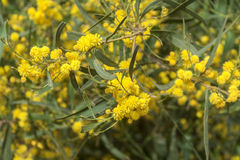 开花的黄色花含羞草。 库存照片
