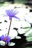 开花的紫色莲花 免版税库存图片