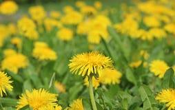 开花的黄色蒲公英草甸 库存照片