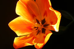 开花的黄色郁金香的里面的照片 免版税库存图片