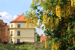 开花的黄色金合欢在华沙的中心 库存图片