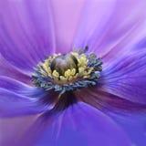 开花的紫色银莲花属 库存照片