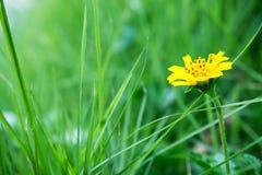 开花的黄色雏菊 免版税库存照片