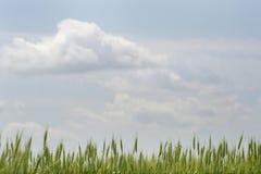 开花的绿色麦田麦子特写镜头的耳朵在蓝天的 库存图片