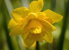 水仙 开花的黄色水仙与geen生长在庭院里的叶子 免版税库存照片