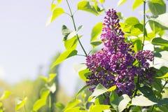 开花的紫色紫罗兰色丁香的分支反对天空的 免版税库存照片