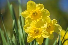 开花的黄色水仙 图库摄影