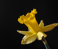 开花的黄水仙黄色 库存图片