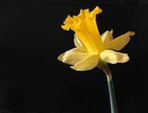 开花的黄水仙黄色 免版税图库摄影