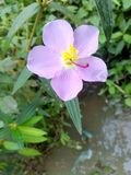 开花的紫色 免版税库存图片