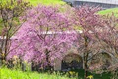 开花的紫荆树在都市公园在春天 免版税库存图片
