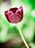 开花的黑郁金香 库存照片