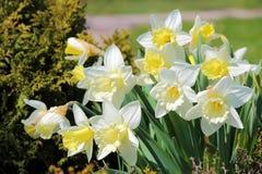 开花的黄水仙 库存照片
