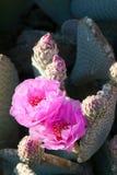 开花的Beavertail红色通配沙漠仙人掌 图库摄影