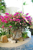 开花的Bouganvilla在墨西哥 图库摄影