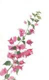 开花的bougenvillea分行绘画水彩 库存图片