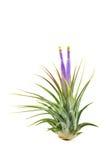 开花的bromeliad花 免版税库存照片