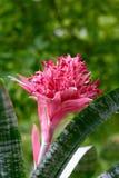 开花的bromeliad 库存图片