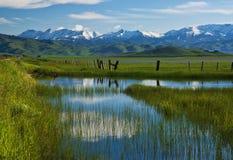 开花的camas开花湿的沼泽 库存图片