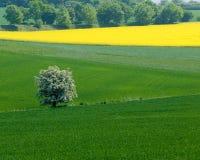 开花的canola fie结构树 免版税库存照片