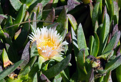 开花的Carpobrotus,太平洋海岸,加利福尼亚 免版税库存照片