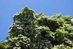开花的catalpa冠反对天空的 免版税库存图片