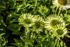 开花的coneflowers或珠宝海胆亚目,拷贝空间绿色花  库存图片