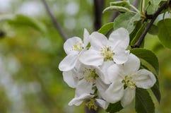 开花的crabapple 库存照片