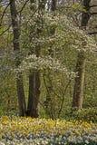 开花的daffodills春天结构树 免版税库存图片