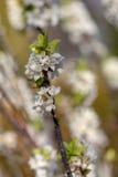 开花的daphne在春天 免版税库存照片