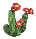 开花的echinopsis仙人掌 库存例证