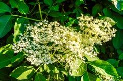 开花的elderflower 接骨木花 库存照片