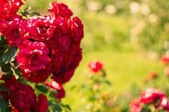开花的floribunda花在玫瑰园里 免版税库存照片