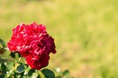 开花的floribunda花在玫瑰园里 免版税图库摄影