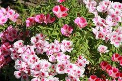开花的godetia在庭院里在夏天 库存图片