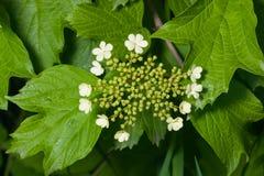 开花的Guelder上升了,荚莲属的植物opulus,花并且发芽特写镜头,选择聚焦,浅DOF 免版税库存图片